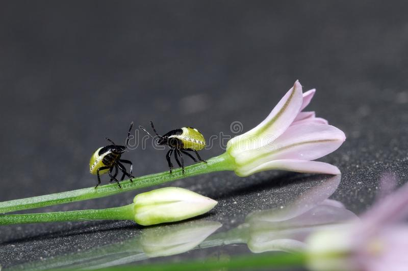 Stinkbug νύμφες στοκ εικόνες με δικαίωμα ελεύθερης χρήσης