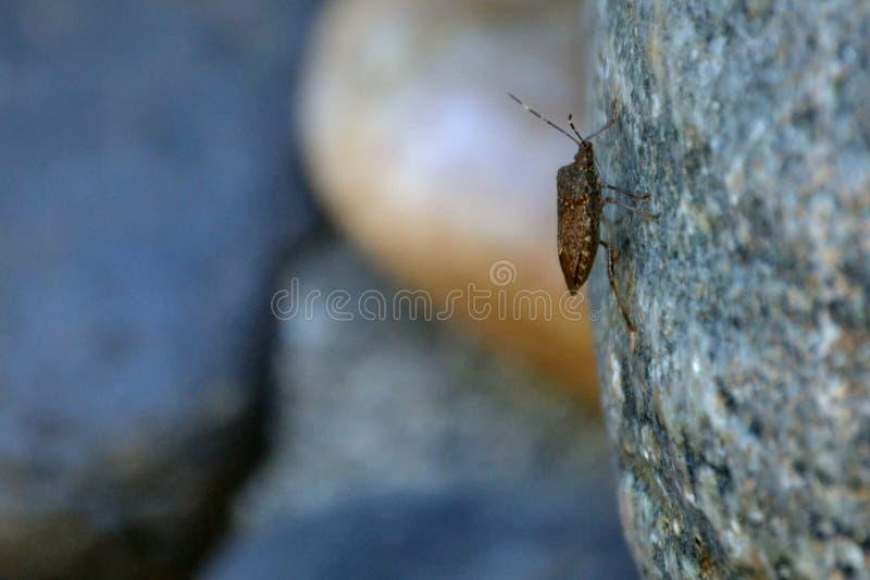 Stinkbug на стене стоковые фотографии rf