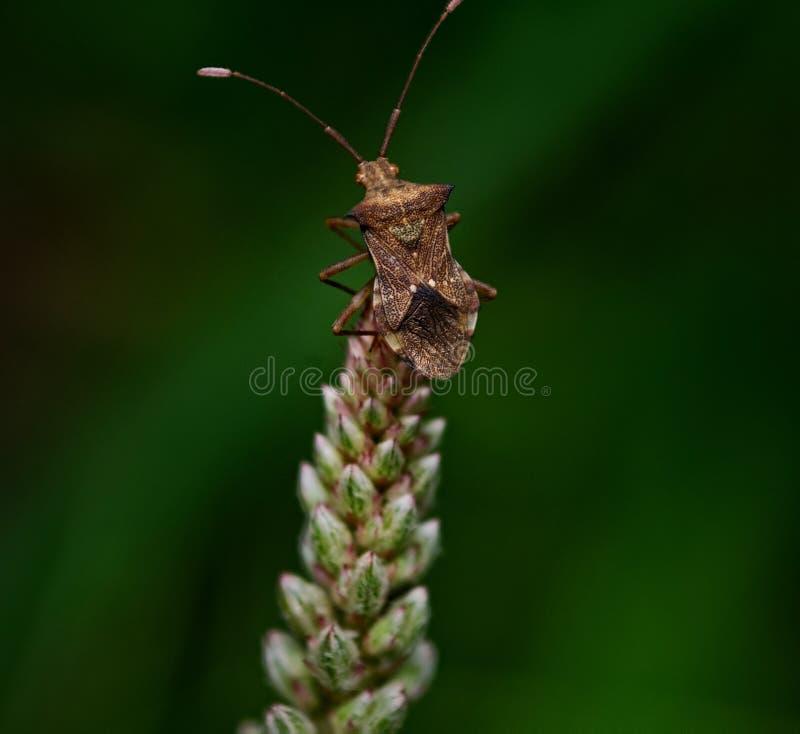 Stinkbug на цветке травы стоковое изображение rf