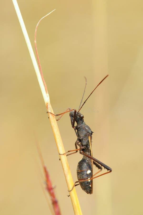 Stinkbug Coreidae стоковые изображения rf