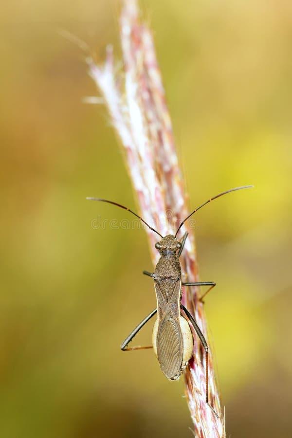 Stinkbug Coreidae стоковое фото