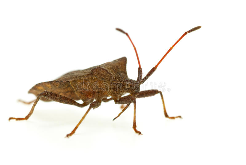 stinkbug picromerus bidens стоковое фото rf