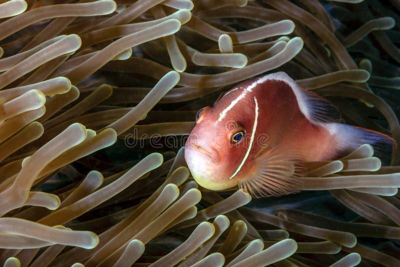 Stinkdier Clownfish in anemoon royalty-vrije stock afbeelding