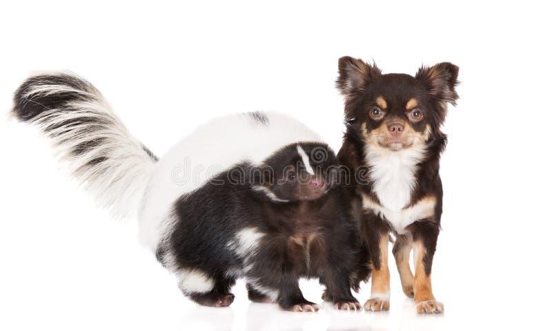 Stinkdier en chihuahuahond royalty-vrije stock afbeeldingen