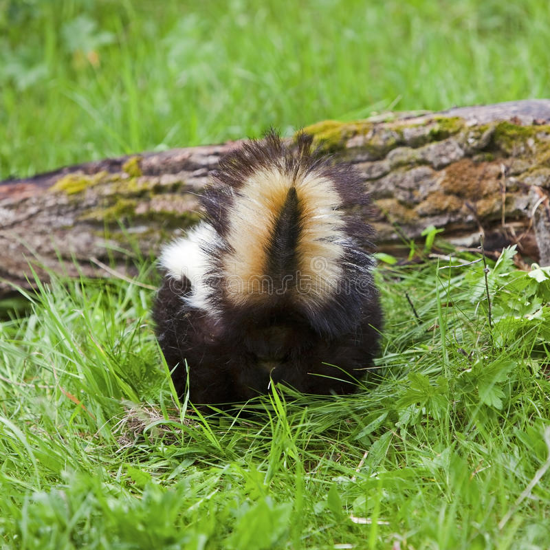 Stinkdier op logboek stock fotografie