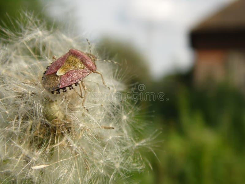Stinked skalbagge royaltyfri foto