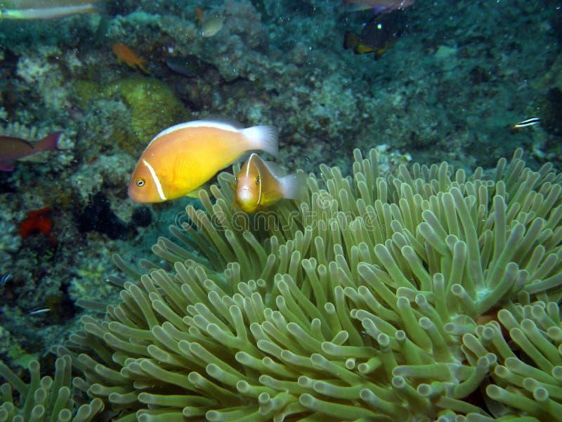 Stinktier-Clown-Fische in der Anemone Fidschi stockfotografie