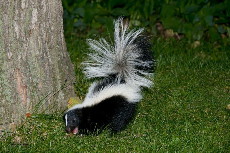 Stinktier im Hinterhof-Gras lizenzfreie stockbilder
