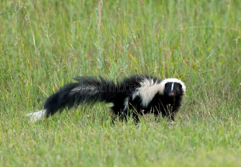 Stinktier im hohen Gras lizenzfreie stockbilder