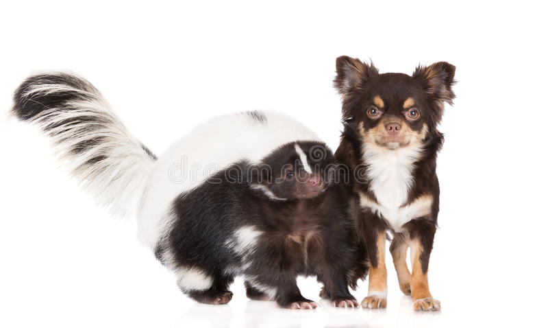 Stinktier- und Chihuahuahund lizenzfreie stockbilder