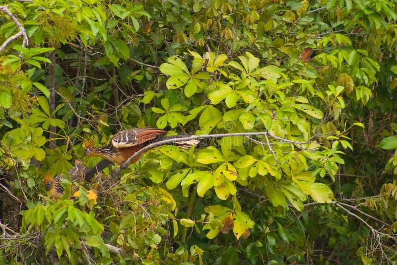 Download Stinky Bird stock photo. Image of south, peru, bird, hoatzin - 5656768