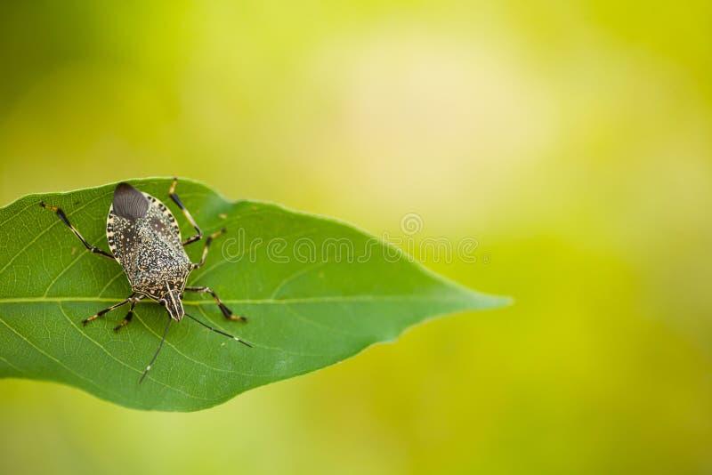 Stinkyinsect op blad royalty-vrije stock fotografie