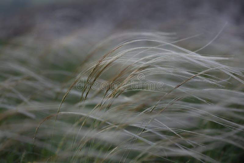 Stipa capillata如,叫作羽毛,针,在干草原的矛草 乌克兰的列出的红色书 宏观照片 库存照片