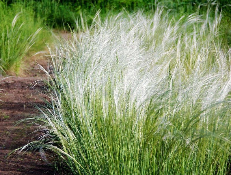 Stipa lub piórkowa trawa zdjęcie stock