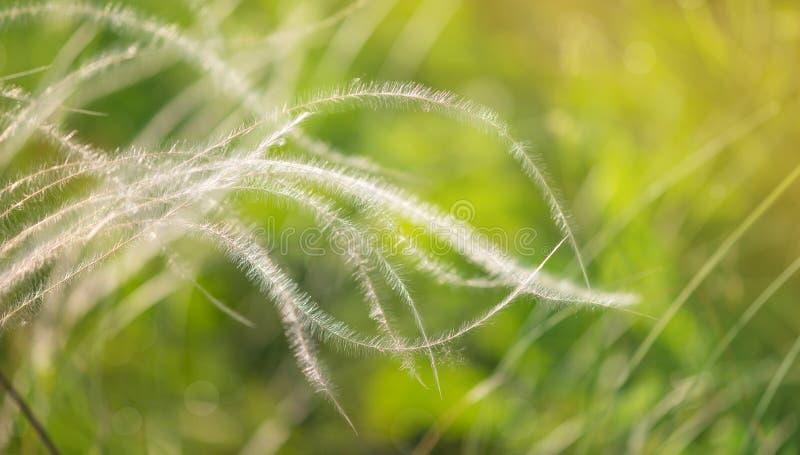 Stipa pennuta che fluttua nel vento fotografie stock libere da diritti