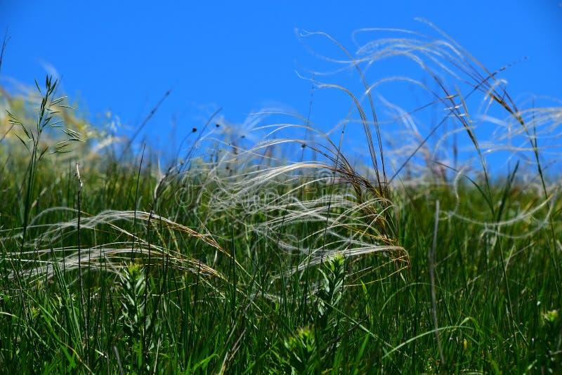 Stipakromming van het veerborstgras in de wind onder een blauwe hemel royalty-vrije stock fotografie