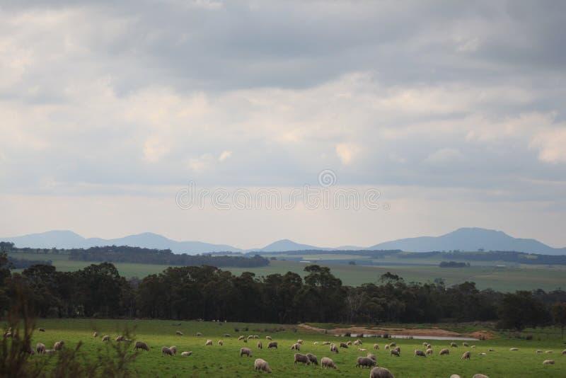 Stirling Ranges e carneiros imagens de stock