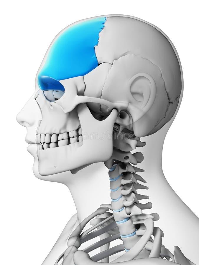 Stirnbein stock abbildung. Illustration von gesundheit - 30721743