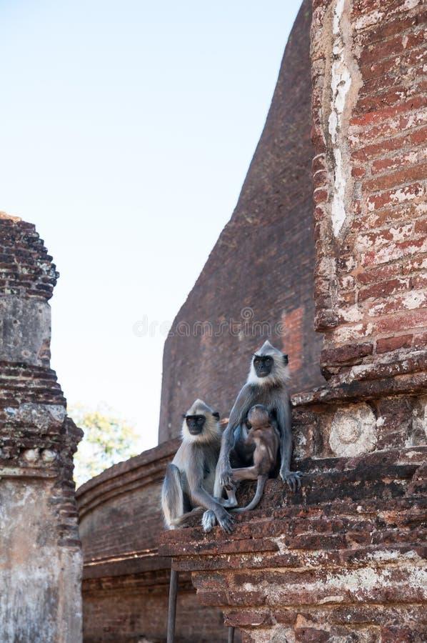 Stirra för Hanuman langurfamilj som är långväga i den forntida staden Polonnaruwa, Sri Lanka fotografering för bildbyråer