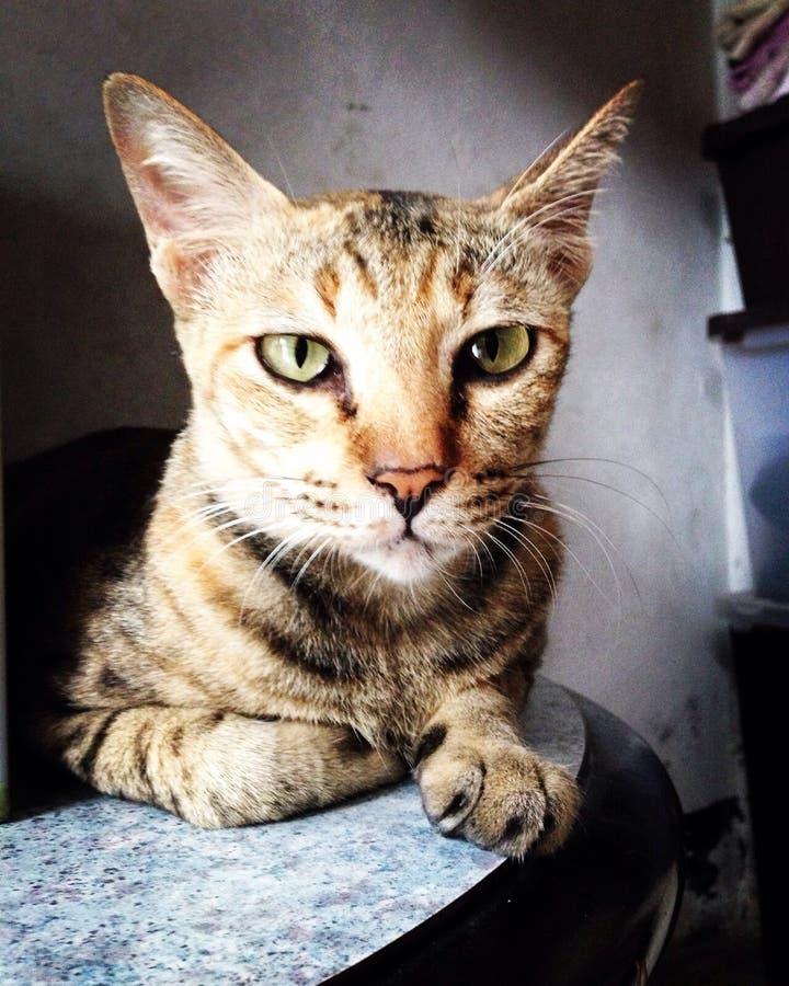 stirra för katt arkivbild