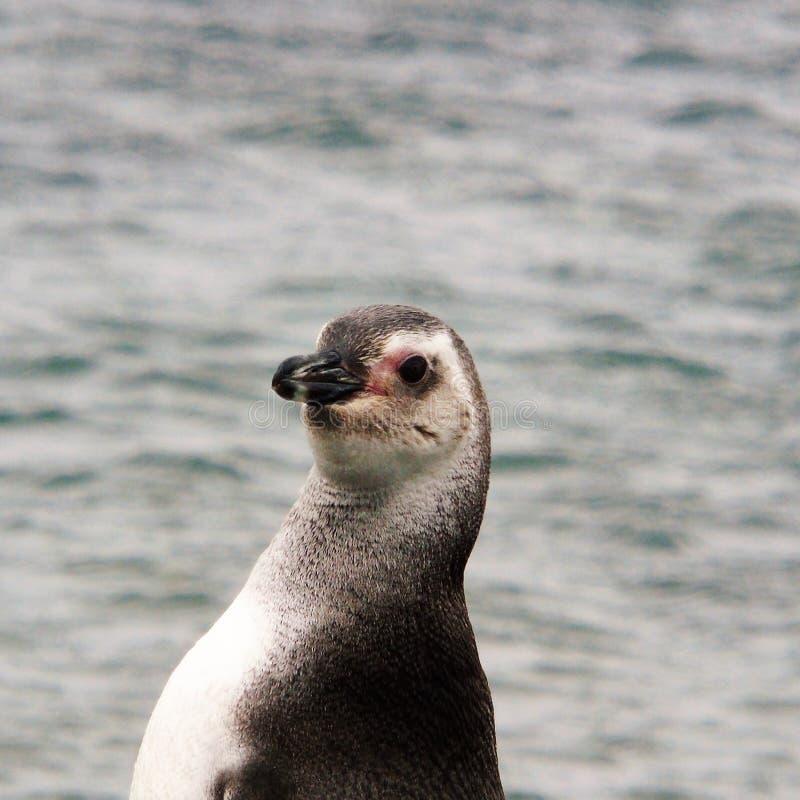 Stirra för pingvin royaltyfri bild