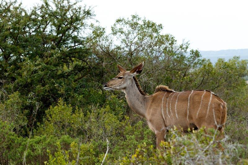 Stirra in i framtiden - större Kudu - Tragelaphusstrepsicero arkivfoton
