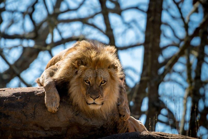 Stirra Intensely på ett lejon royaltyfri foto