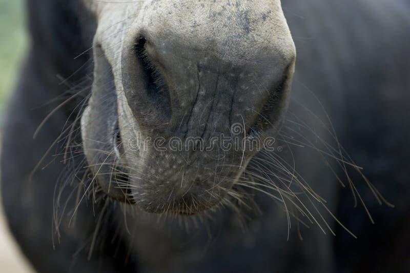 Stirra ner näsan av en häst med morrhår arkivbild