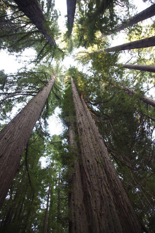 Stirra uppåt i Humboldt redwoodträddelstatspark arkivfoto