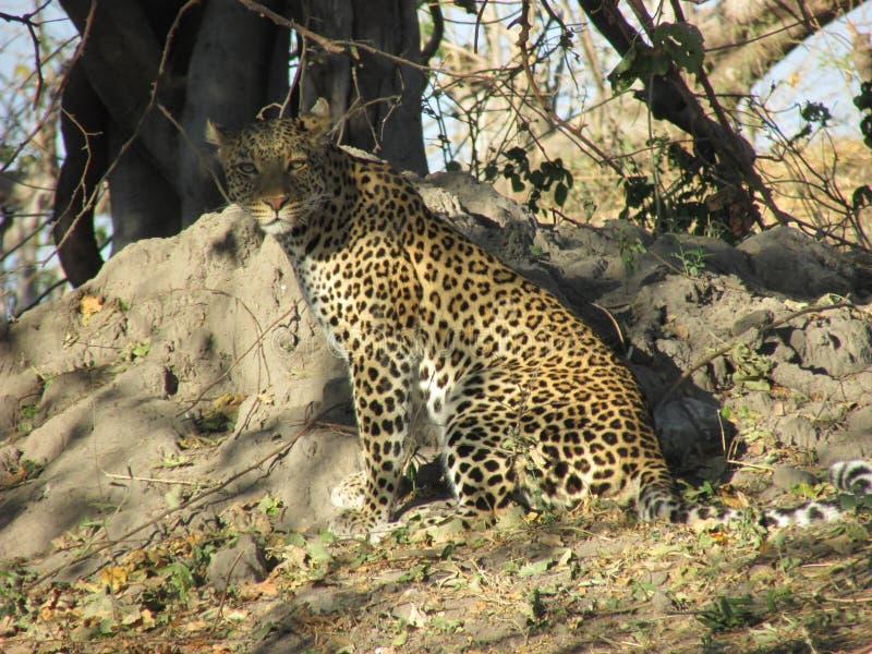 Stirrande av en leopard royaltyfri fotografi