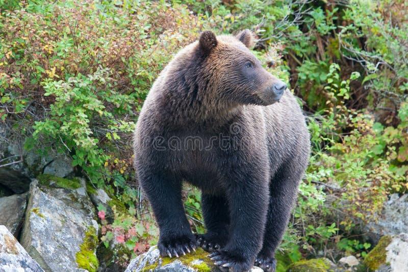 Stirrig grisslybjörn royaltyfri bild