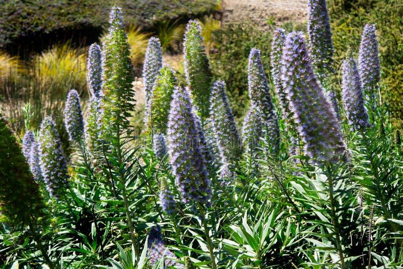 Stjälk för lös blomma för Echiumwebbi blåa purpurfärgade arkivbild