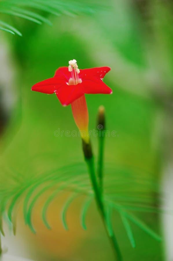 stjärna för fem blomma royaltyfria bilder