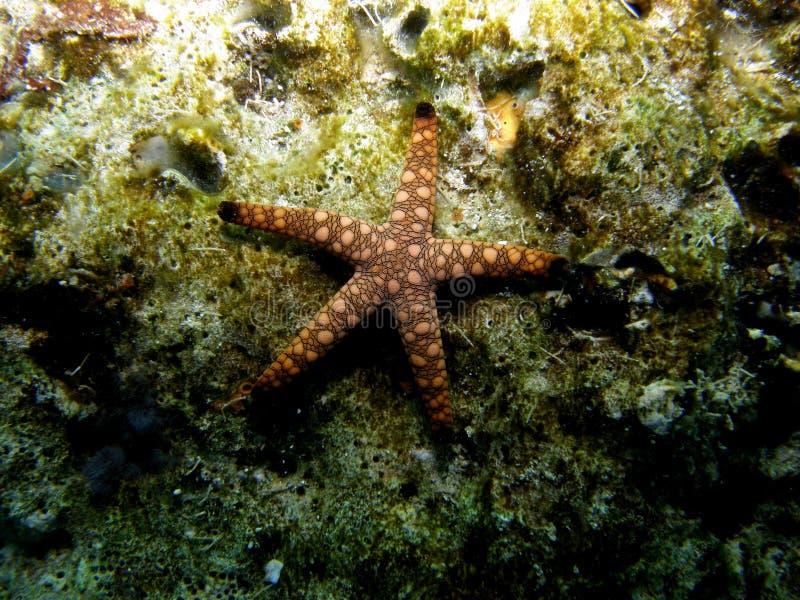 stjärna för rev för korallfiskmarmor royaltyfria bilder