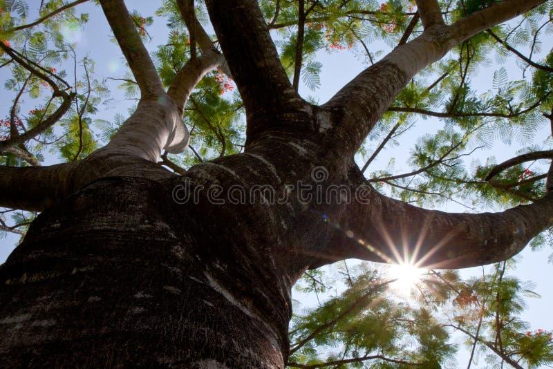 Stjärna-solljus och träd fotografering för bildbyråer