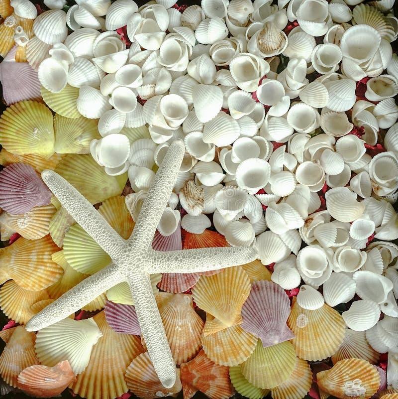 Stjärnafisk och skalbakgrund arkivfoton