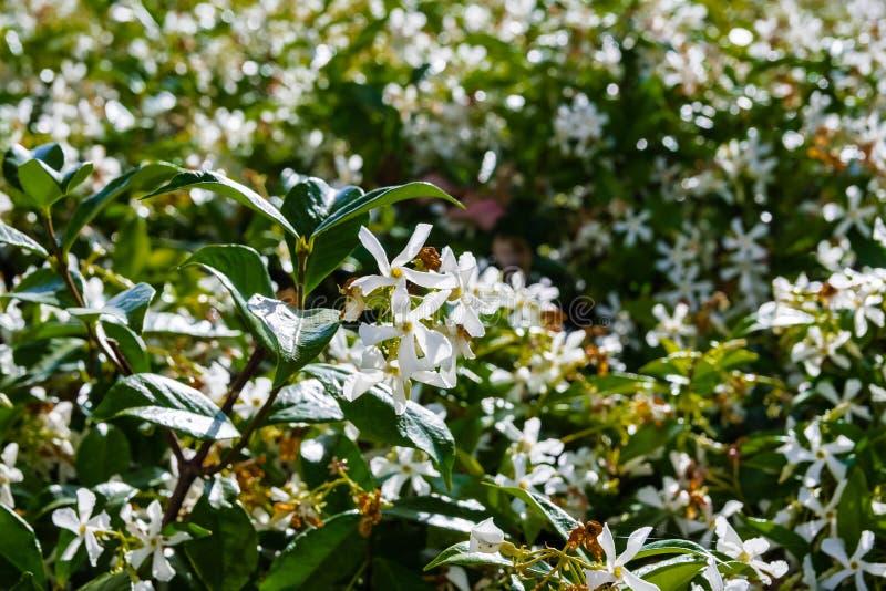 StjärnaJasmine Trachelospermum jasminoides som blommar i en offentlig trädgård, Kalifornien arkivbilder