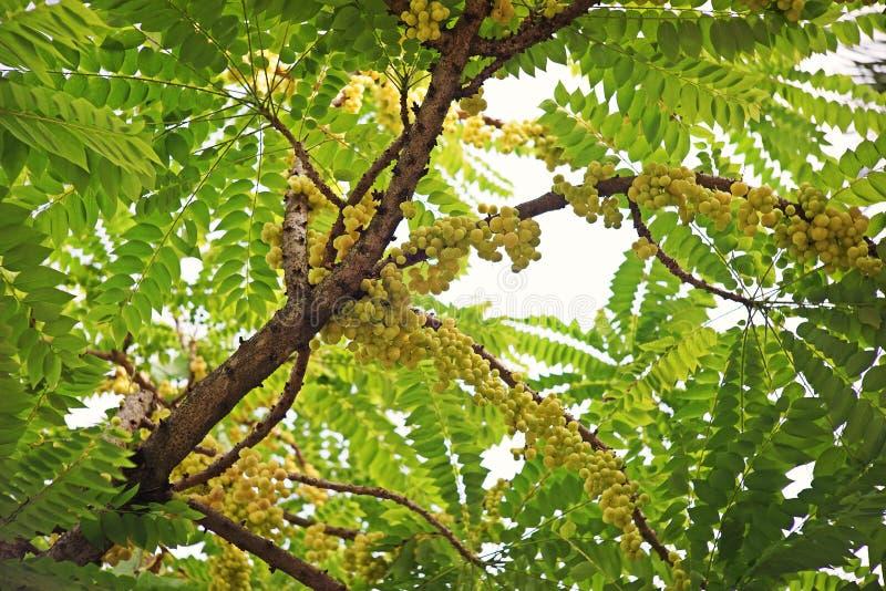 Stjärnakrusbär eller Otaheite krusbär, ätlig liten frukt för gula bär arkivbilder