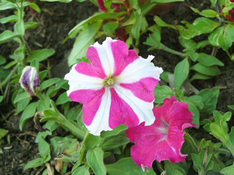 Stjärnarosa färgpetunia arkivfoto
