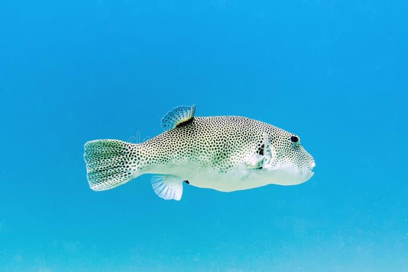Stjärnklara Pufferfish - Perhentian öar, Malaysia arkivbild