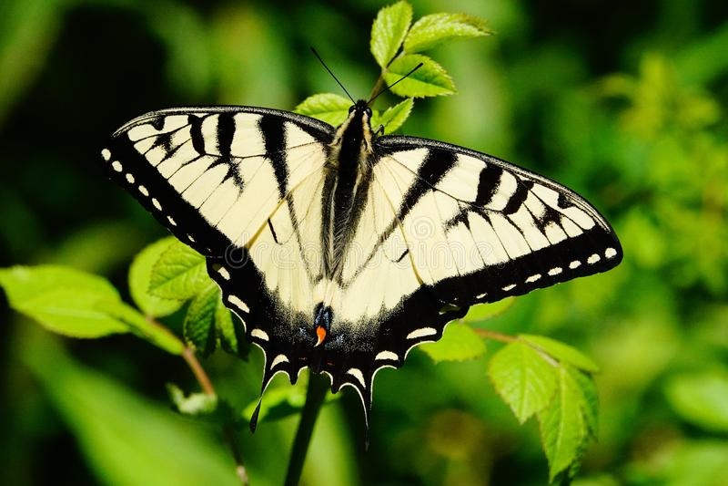 ?stlicher gelber Tiger swallowtail Schmetterling lizenzfreie stockfotografie