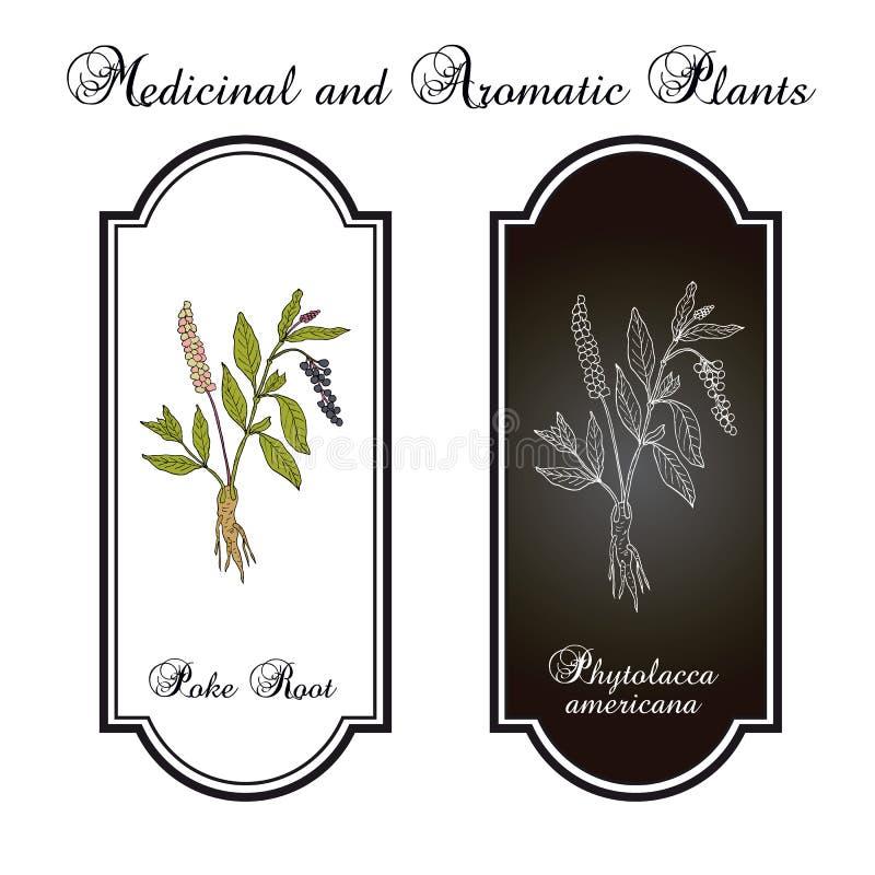 Stoßen Sie Americana Wurzel Phytolacca oder Pokeweed, Heilpflanze stock abbildung