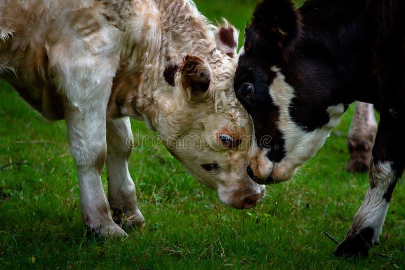 Stoßendes togerther Köpfe der Mutter und des Kalbs auf grünem Gras stockbild