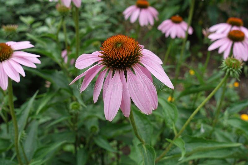 Stożkowate kwiecenie głowy Echinacea purpurea obraz royalty free