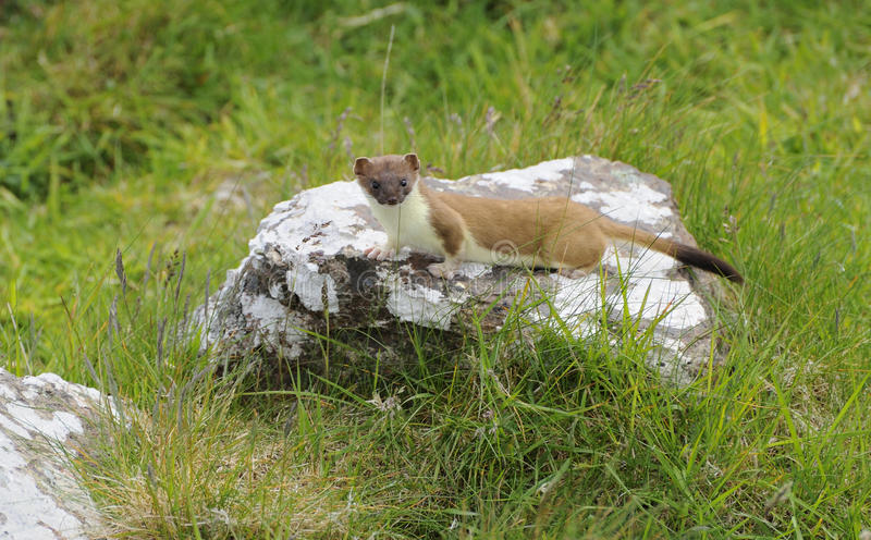 stoat fotos de stock royalty free