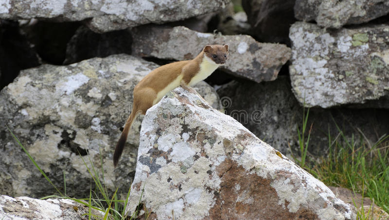 stoat fotos de stock