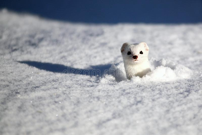 Stoat Mustela erminea also known as the short-tailed weasel. Beautiful white Stoat Mustela erminea also known as the short-tailed weasel half buried in snow stock photo