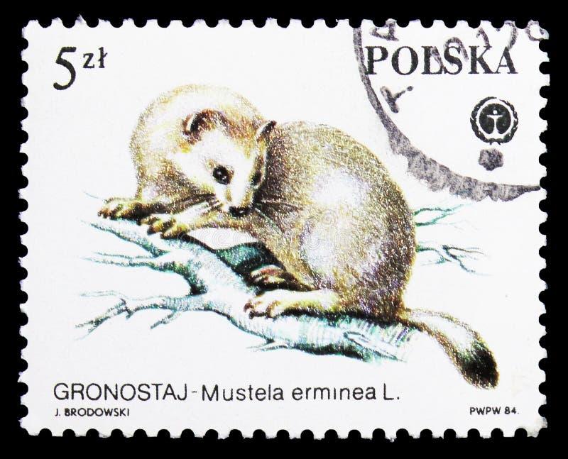 Stoat (Mustela erminea), Animals Protected serie, circa 1984 stock image