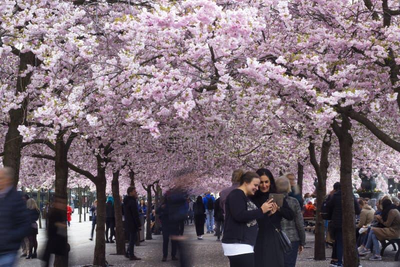 Stoccolma/Svezia - 2 maggio 2018: Alberi del fiore di ciliegia a Stoccolma fotografie stock libere da diritti