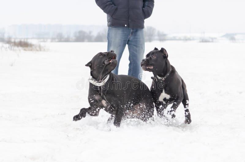 Stock Corso Hundespiel mit einander stockfoto